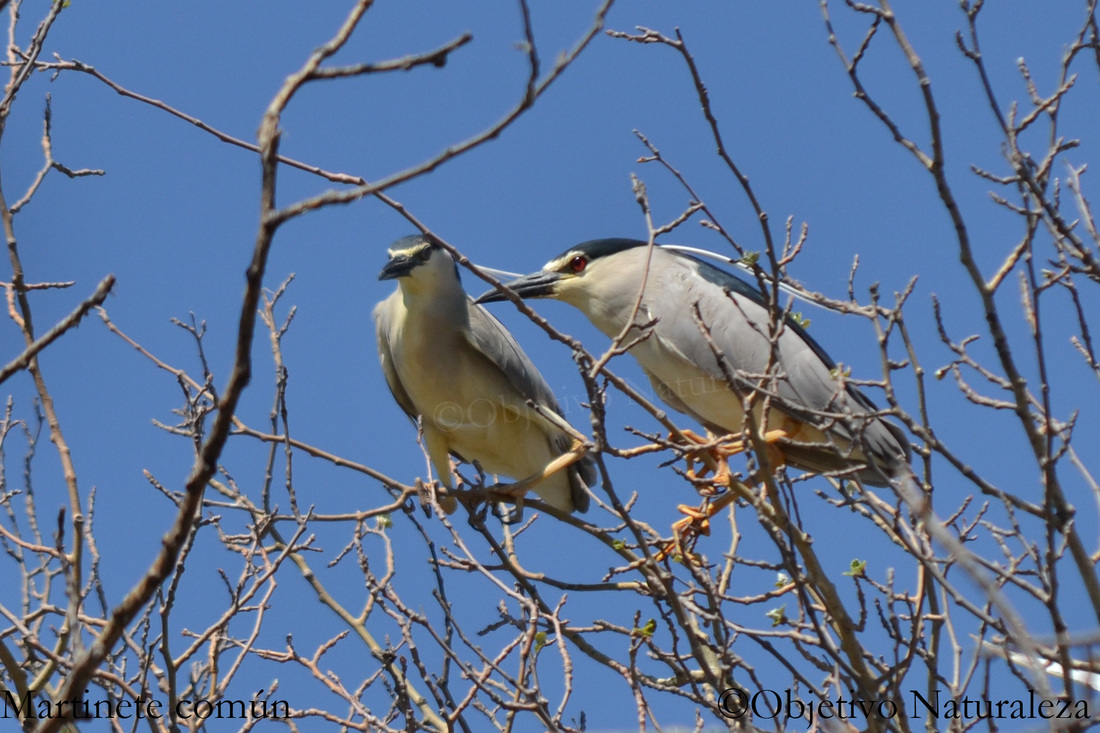Martinete común-Black crowned night heron