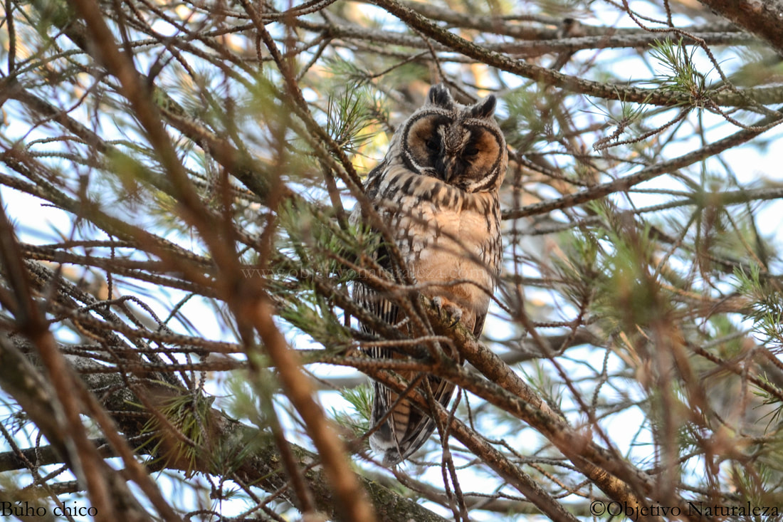 Búho chico-Long-eared owl
