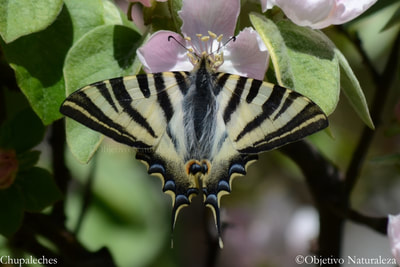 Mariposa Chupaleches (Iphiclides feisthamelii)