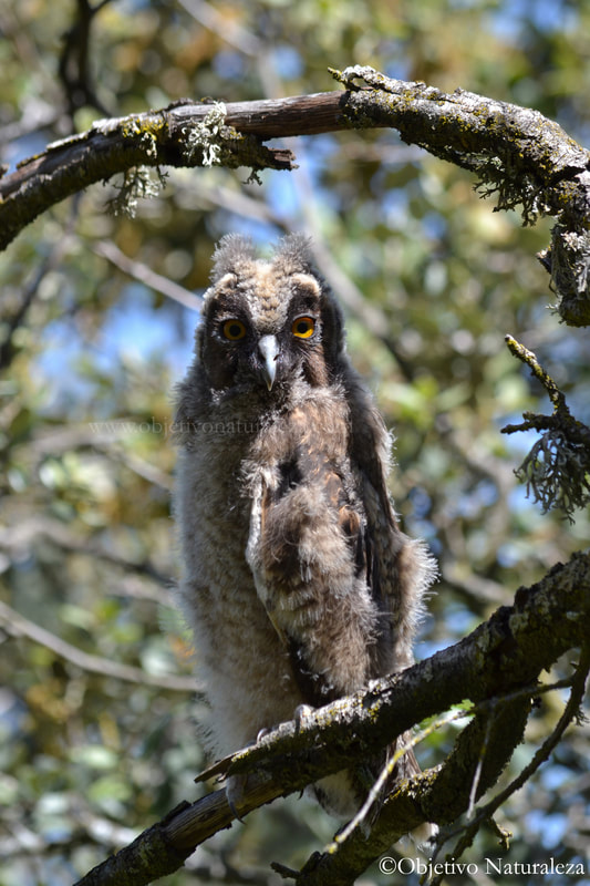 Pollo de búho chico-Long-eared Owl